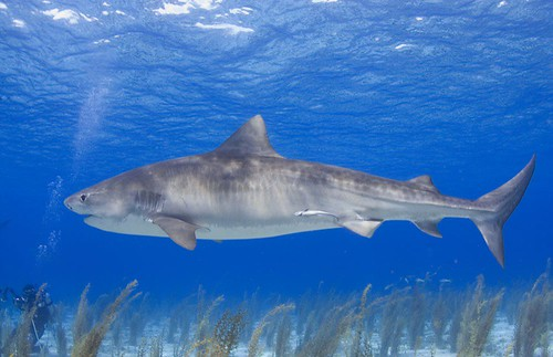 Tiger Sharks Pictures Tiger Shark | by Willy