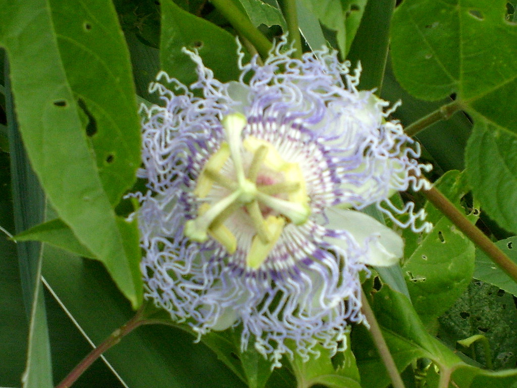 Passion Flower e of the coolest flowers I have ever seen…