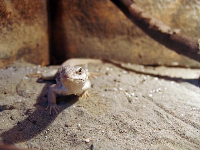 Desert Iguana Food List