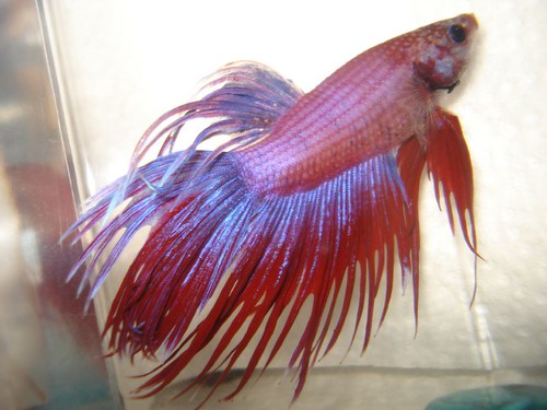 Crowntail betta | by Stephie189