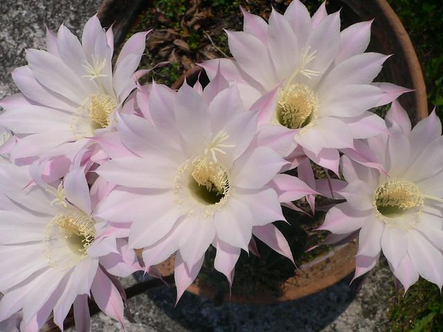 Cacti succulent plants piante grasse flickr for Piante colonnari
