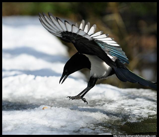 Magpie landing - photo#5