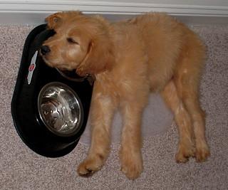 Lucy sleeping in dog bowl | by Pat Groves