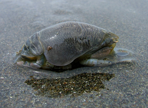 pacific mole crab - photo #6