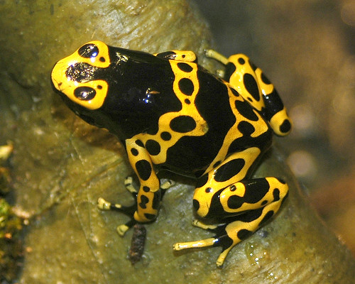 Bumblebee Frog Flickr Photo Sharing
