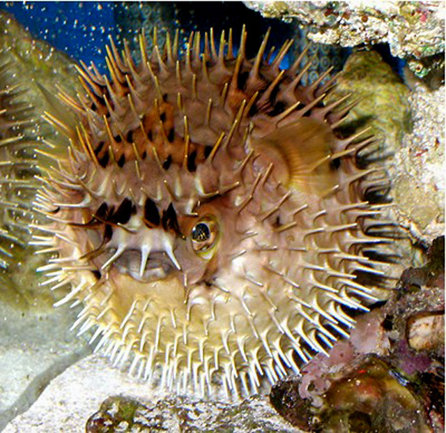 Porcupine puffer flickr photo sharing for Porcupine puffer fish