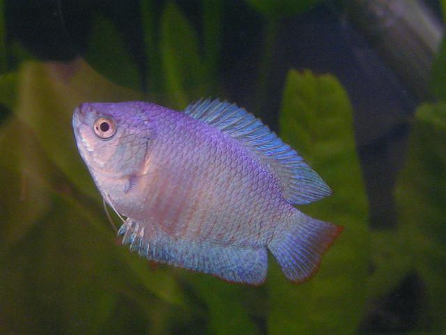 Turquoise Dwarf Gourami 2