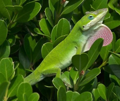 Green anole | by nikkorsnapper