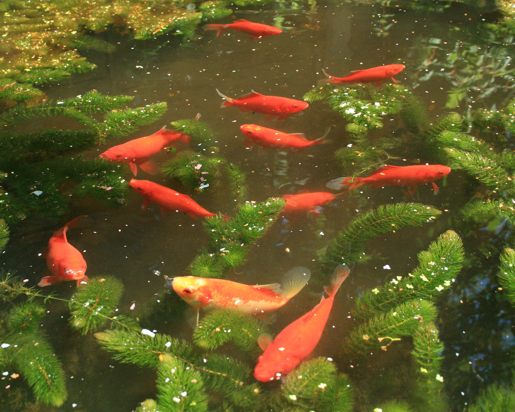 Our garden feeding time at the goldfish pond these for Goldfish pond