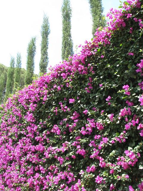 Walls of bougainvillea | Flickr - Photo Sharing!