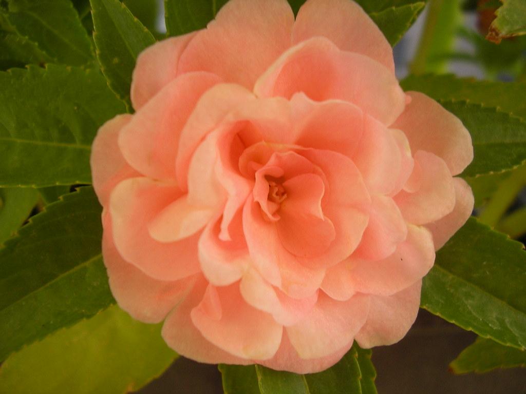 fragrant flower double Impatiens wallerana verdancy 3