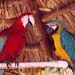 Chance and Sunshine - The Palms Parrots