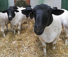 Sheep 201: US Sheep Breeds A-Z