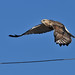 Rough-legged Hawk in Flight DSC_1581