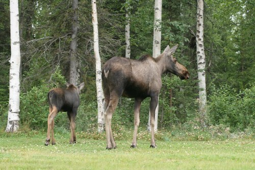 Moose & Calf, Ft. Richardson Army BAse, Anchorage Alaska | by Shellie Raney