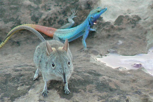Elephant shrew and colorful lizard | by Nils.Woxholt