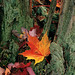 Fall Foliage Litters The Forest (TM12a