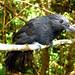 recurvebilledbushbird2