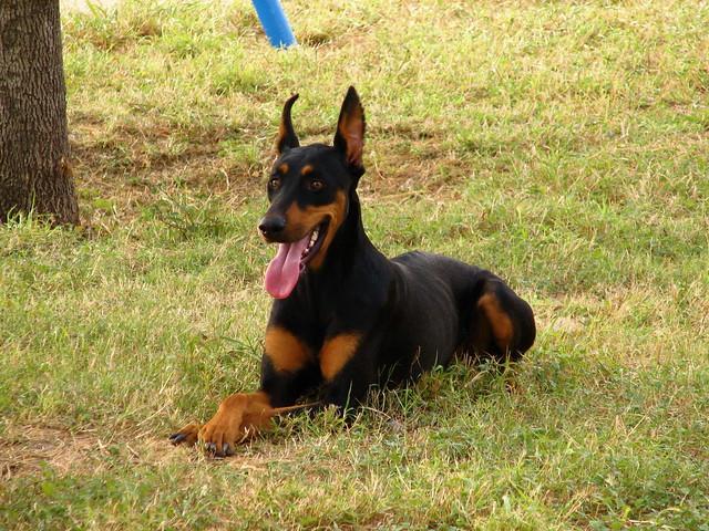 birth-month-dog-breed-doberman-pinscher