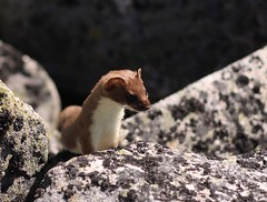 Ermine (@ Trophy Mountain summit) (3pics) | by K. Rattray