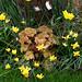 Clusiana tulips, Heuchera caramel, narcissi