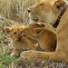 Cubs grooming with Lioness Serengeti NP Tanzania Africa