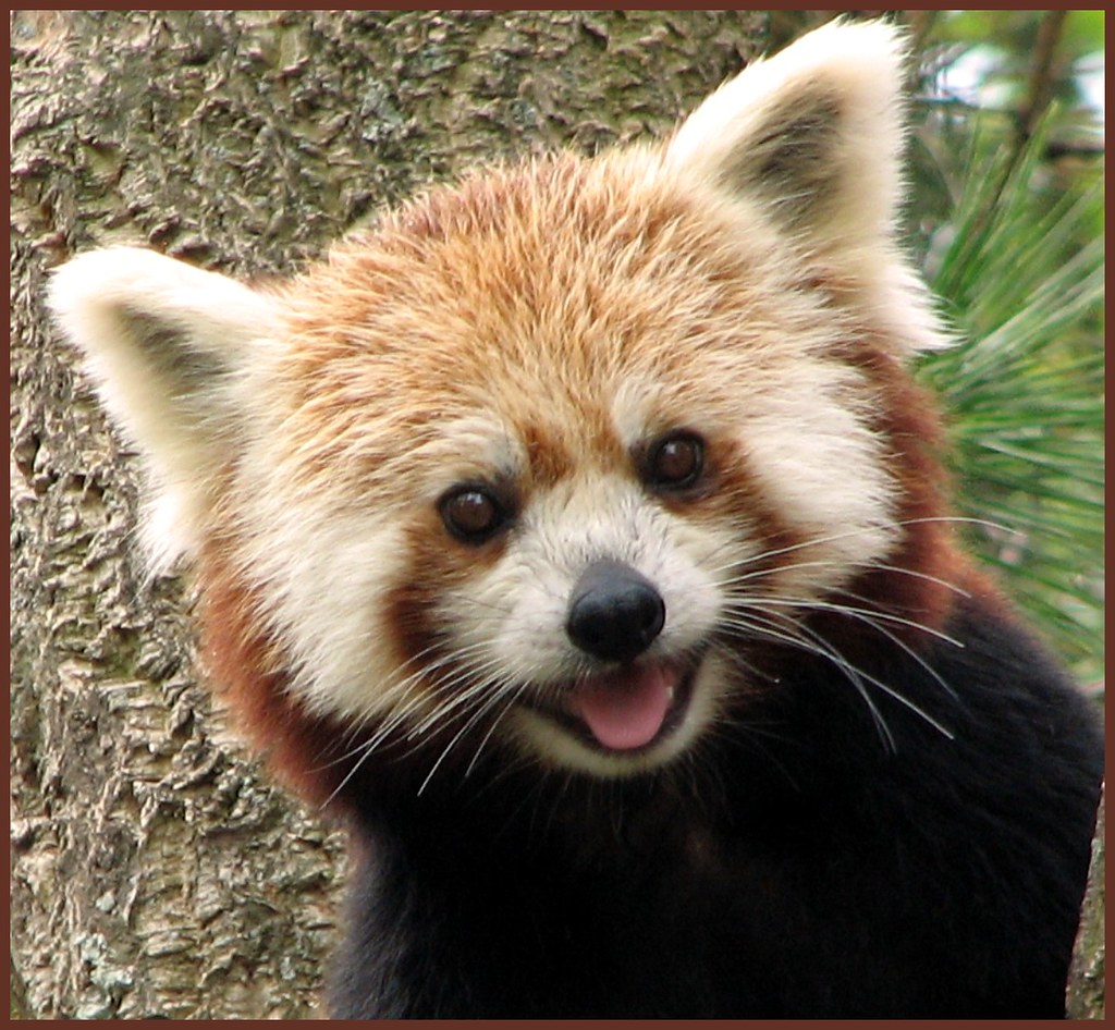 Happy Smile | One of the 2 red panda sisters at Washington ... - photo#13