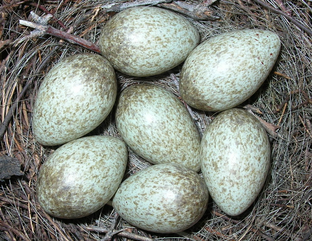 ... -billed Magpie-eggs | 15th April 2005 Black Mountain Th… | Flickr