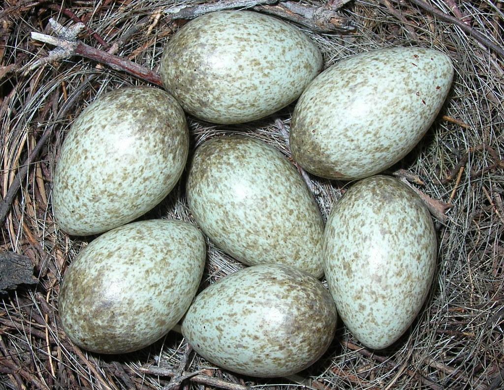 black billed magpie eggs 15th april 2005 black mountain th u2026 flickr