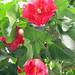 Adjuntas, Puerto rico / Flor de maga / Thespesia grandiflora / Maga grandiflora