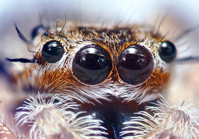 jumping spider eyes at around 6 1 magnification  cropped
