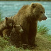 00050-00904 Brown Bear sow with twin cubs close for protection watches the fishing activity on McNeil CS Alaska