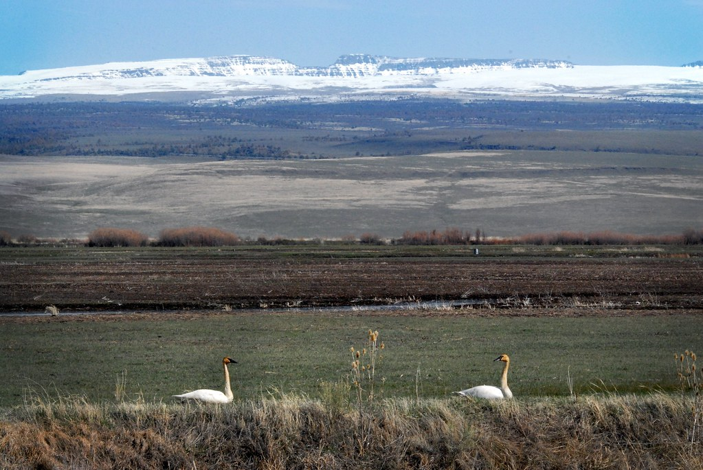 Tundra Swans (Cygnus columbianus) with Steens Mountain Backdrop DSC_0204 | by NDomer73