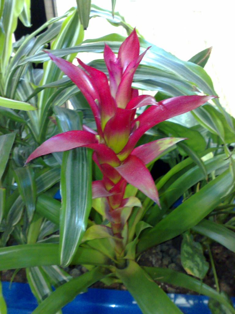 Family >> Red tropical-looking plant | - Taken at 10:16 AM on Septembe… | Flickr