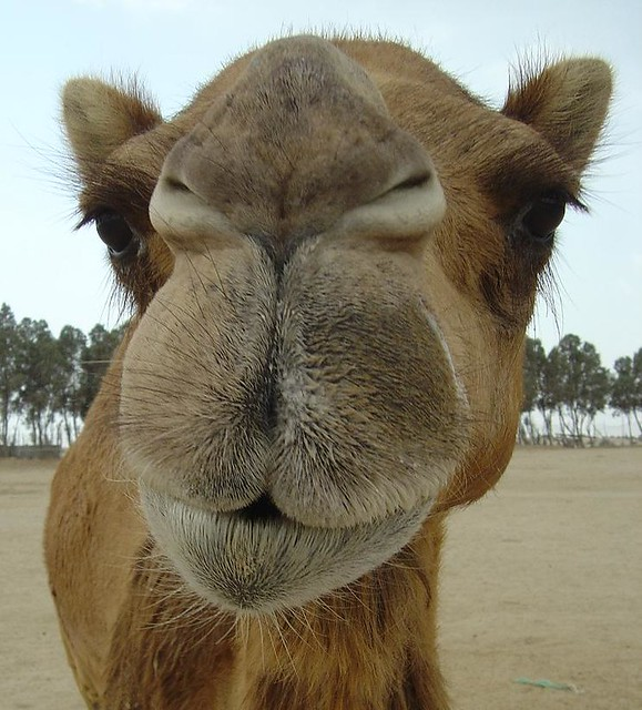 Image result for camel up close