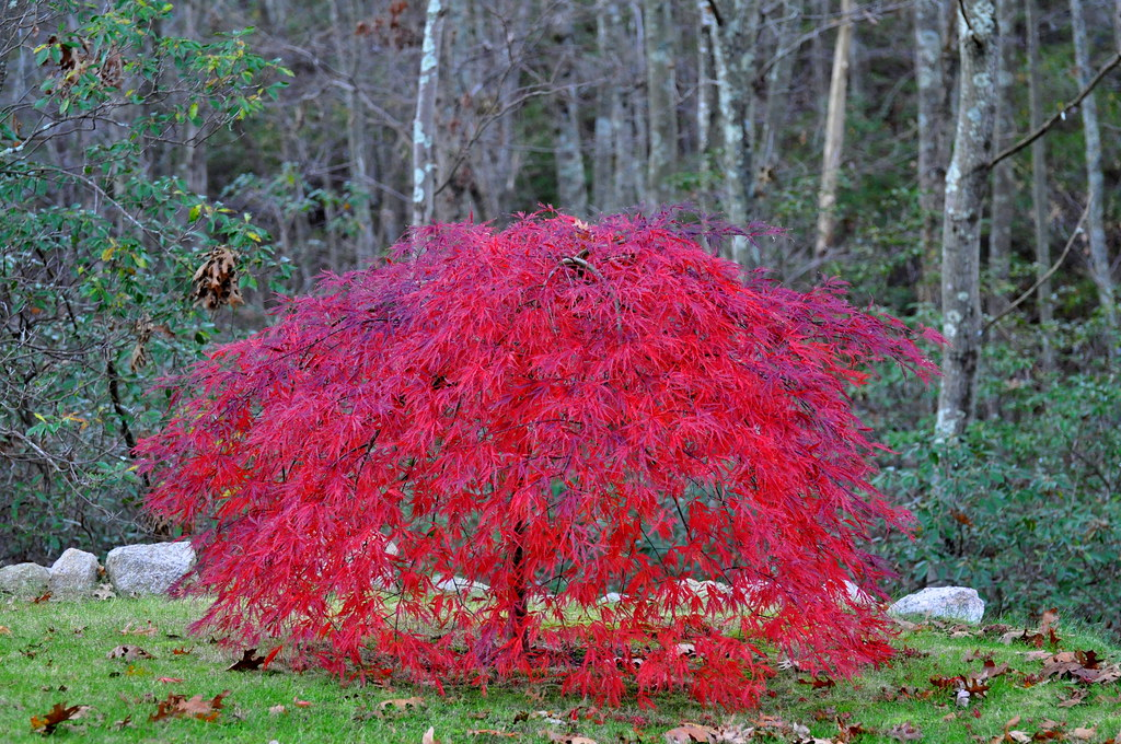 Weeping Japanese Maple Trees This Tree Is 4 Years Old