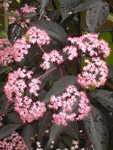 Sambucus Black Lace Flower | by cactiphobia