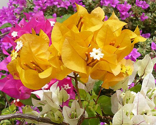 yellow bougainvillea in singapore bougainvillea is a