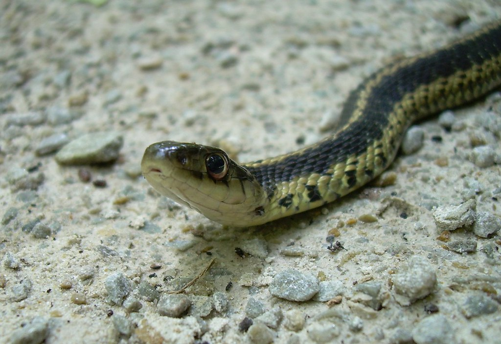 Eastern garter snake kordite flickr