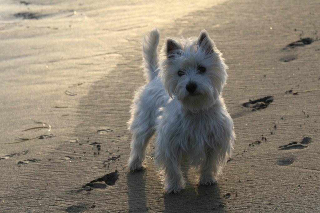 Small White Terrier Dog