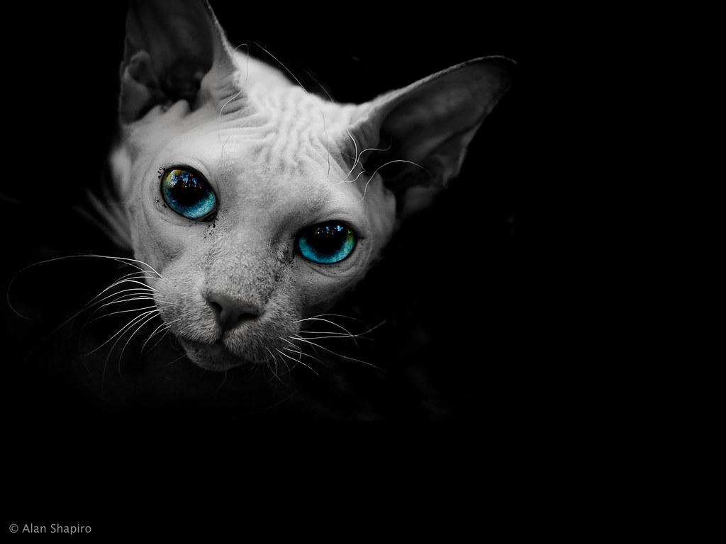 Black Shpinx Cat