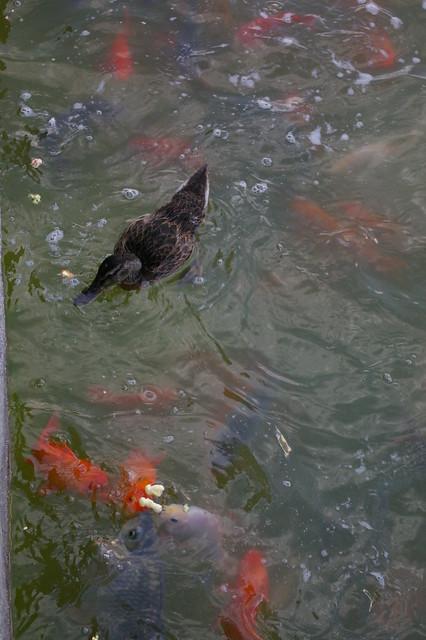 Comida para los peces o la lucha por la superviviencia for Comida peces estanque