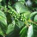 Adjuntas, Puerto Rico / Coffee tree