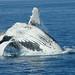 Hervey Bay Whales 1000