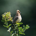 A Serious Waxwing