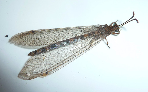 Clear lace like wings with a long slender abdomen and short thorax. Antennae slender with bulbous ends.
