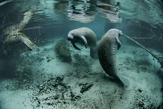 Endangered Florida manatee (Trichechus manatus), Crystal River National Wildlife Refuge, Florida | by USFWS Endangered Species