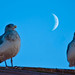 Two Gulls and a Moon