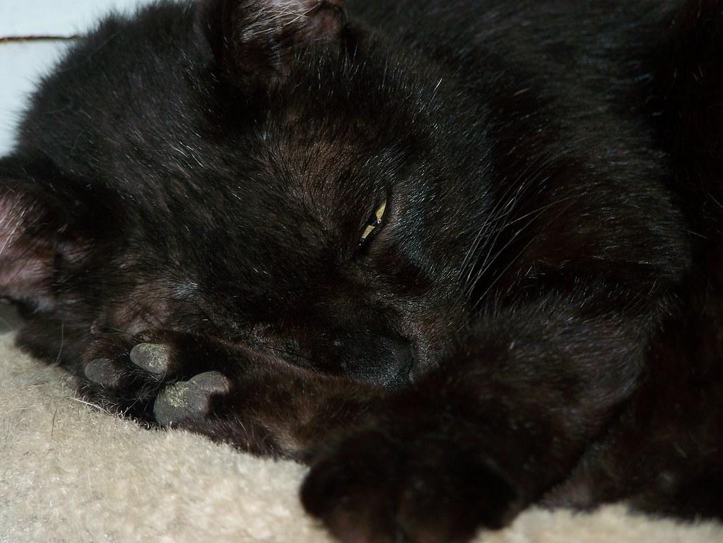 Declawed Cat For Adoption Arizona Bunnie Chewie