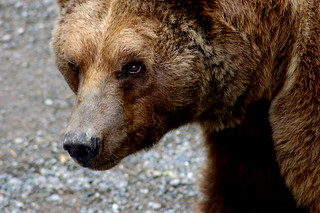 Bear in the Bear pit | by Curious Expeditions